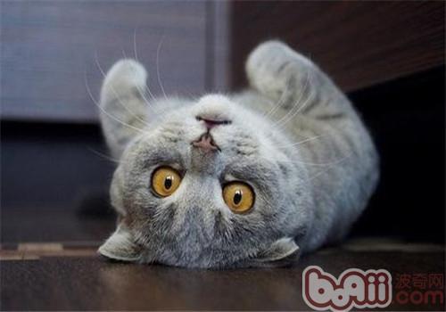 关于猫癣的小常识-猫咪常见病